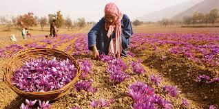 Saffron fields.jpg