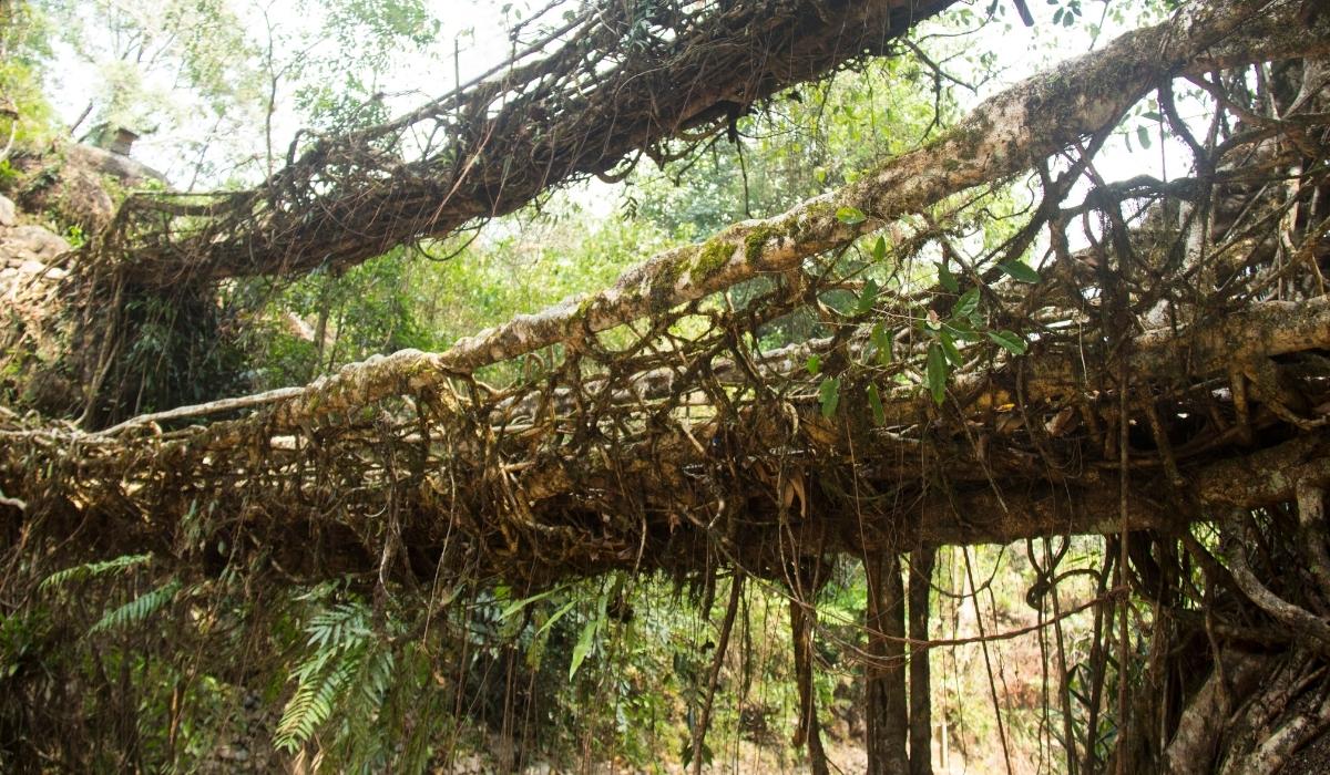 Decker Living Root Bridgels.jpg